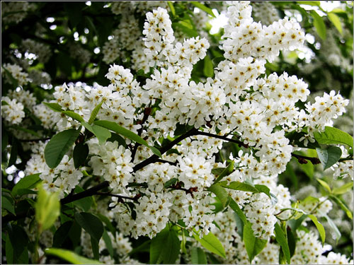 Poems about nature for children: bird cherry