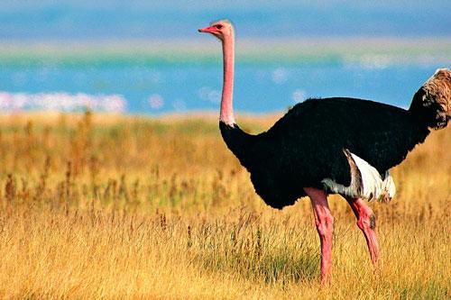 загадки про птиц для детей с ответом страус