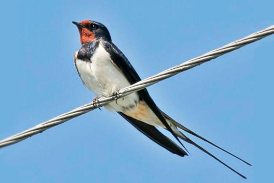 детские загадки про птиц: ласточка