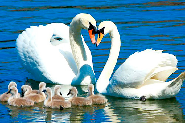детские загадки про лебедей
