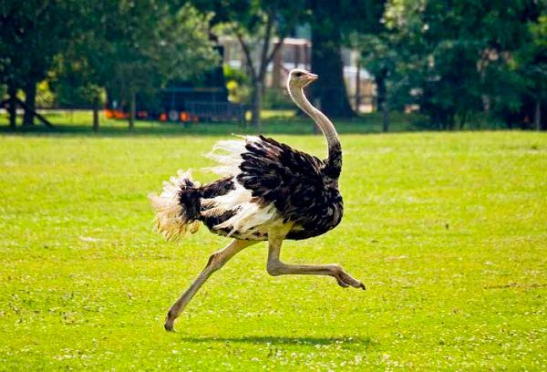 загадки про птиц для детей: страусы