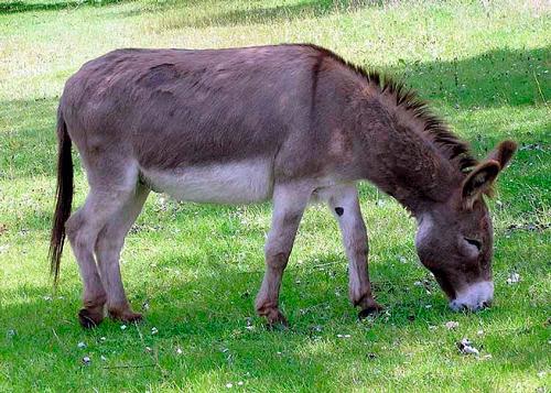 детские загадки про домашних животных: осел