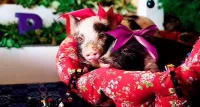 Детские стихи про год свиньи
