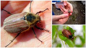 Стихи про насекомых для детей: жук