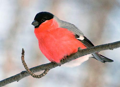 Загадки про птиц с ответами для детей: снегирь