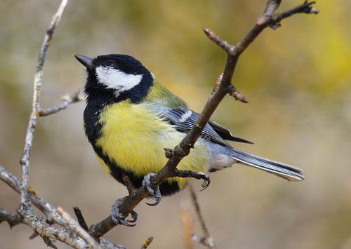 загадки про птиц для детей с ответом синица