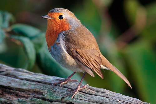 птица зарянка