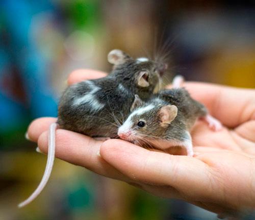 Загадка про мышку для дошкольников