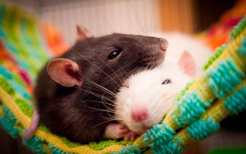 Загадки про год крысы для детей