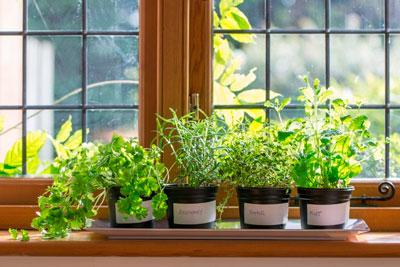 выращиваем зелень зимой на подоконнике