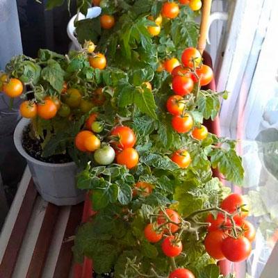 помидор на подоконнике