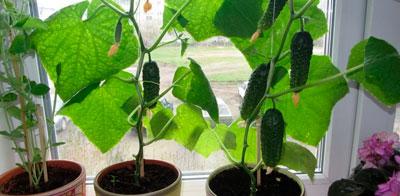 выращиваем огурцы зимой на подоконнике