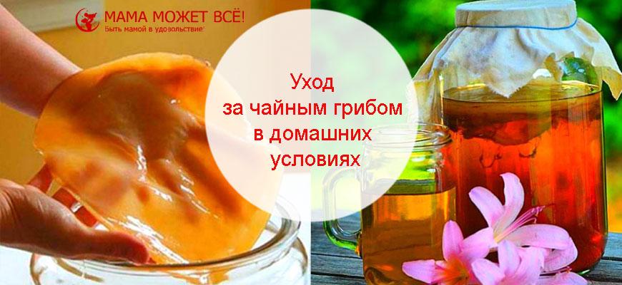 чайный гриб уход и использование